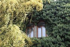 Rosa banksiae wokoło okno zdjęcie royalty free