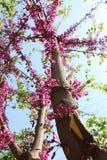 Rosa Baum-Blumen-Blühen Stockbild
