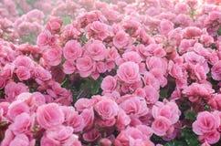 Rosa begonia i trädgården Royaltyfri Bild