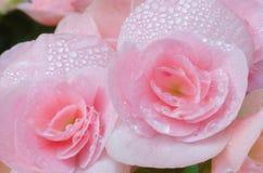 Rosa begonia i trädgården Royaltyfria Bilder