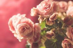 Rosa begonia med waterdrops Arkivfoton