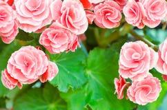 Rosa begoniablomma Arkivfoto