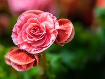 Rosa begoniablomma som blommar i trädgården Fotografering för Bildbyråer