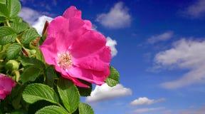 Rosa bella Fotografia Stock
