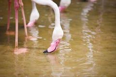 Rosa bello agli animali tropicali della natura del fiume del lago - fenicottero dell'uccello del fenicottero fotografie stock