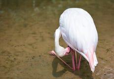 Rosa bello agli animali tropicali della natura del fiume del lago - fenicottero dell'uccello del fenicottero fotografie stock libere da diritti