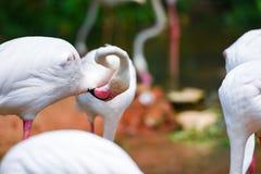 Rosa bello agli animali tropicali della natura del fiume del lago - fenicottero dell'uccello del fenicottero immagini stock libere da diritti