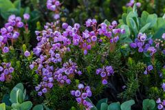 Rosa berg Heath Wildflowers Bloom royaltyfria foton