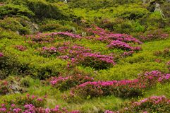 Rosa bergrhododendronblommor Royaltyfri Fotografi