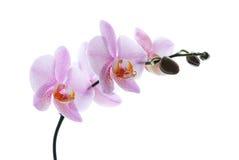 Rosa beschmutzte die Orchideen, die auf weißem Hintergrund getrennt wurden Stockfoto