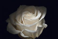 Rosa bianca Fotografia Stock Libera da Diritti