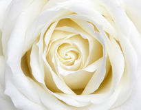 Rosa bianca Fotografie Stock