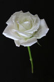 Rosa bianca Immagine Stock