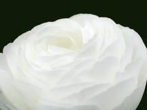 Rosa bianca immagini stock libere da diritti