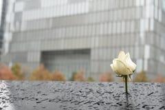 Rosa bianca al ground zero Fotografia Stock
