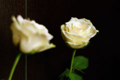 Rosa bianca con la riflessione su un fondo di Wenge Fotografie Stock