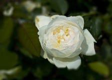 Rosa bianca in fioritura Fotografia Stock Libera da Diritti