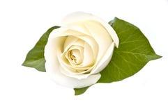 Rosa bianca isolata Immagini Stock Libere da Diritti