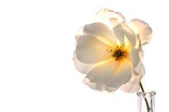 Rosa bianca su bianco Fotografie Stock Libere da Diritti