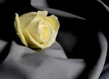 Rosa bianca su Gray Immagini Stock
