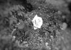 Rosa bianca su priorit? bassa nera immagine stock