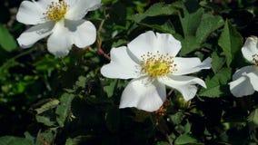 Rosa bianca su un ramo con le foglie e le spine stock footage