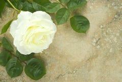 Rosa bianca sulla priorità bassa dell'annata Immagini Stock