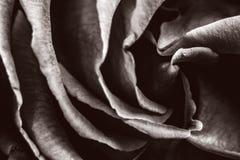 Rosa in bianco e nero monocromatica coperta nel colpo decadente e nostalgico della rugiada di fascino Fotografia Stock