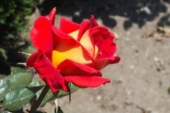 Rosa bicolor vermelha e amarela brilhante imagens de stock
