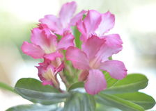 Rosa Bignonia Royaltyfri Foto