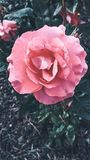 Rosa Bild im Vordergrund lizenzfreie stockfotos