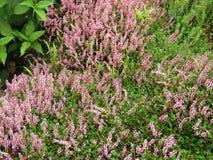 Rosa Bistorta-vaccinifolia im Tal von Blumen Stockbild