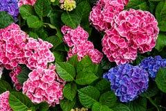 Rosa, blå, lila, violett purpurfärgad vanlig hortensiablomma (vanlig hortensiamacrophylla) som blommar i vår, och sommar i en trä fotografering för bildbyråer