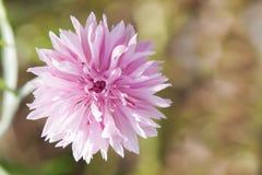 Rosa blåklint Arkivfoto
