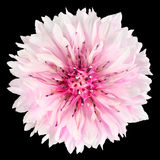 Rosa blåklintblomma som isoleras på svart bakgrund Arkivbild