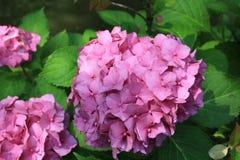 Rosa blühende Blumen der Hortensie im Garten Slight Unschärfe im Seitentrieb, um Bewegung zu zeigen Lizenzfreie Stockfotografie