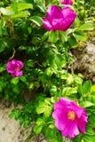 Rosa blühende Blumen des Kletterns von Rosa-canina Strauch, allgemein bekannt als der Hund rosafarben oder wilde Rose, die auf Dü Lizenzfreie Stockfotos