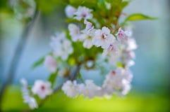 Rosa blühende Kirschblüte auf einem schwachen Hintergrund lizenzfreie stockbilder