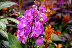 Rosa blühende Orchideen Makro Lizenzfreies Stockbild