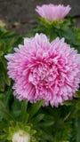 rosa blühende Pflanze stockbilder