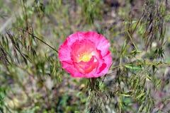 Rosa blühende Poppy Flower Grows in der Wiese Lizenzfreies Stockbild