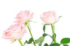 Rosa blühende Rosen Stockbild