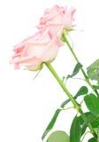 Rosa blühende Rosen Stockfotos