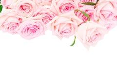 Rosa blühende Rosen Lizenzfreies Stockfoto