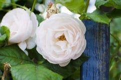 Rosa blühende Rosen sind hinter einem blauen Zaun Stockfotos
