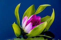 Rosa blühende Seerose stockfotografie
