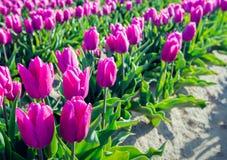 Rosa blühende Tulpenbirnen vom Abschluss Stockbild