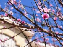 Rosa blüht Baum im Frühjahr Lizenzfreie Stockfotos