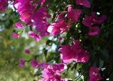 Rosa blüht Hintergrund Stockbilder