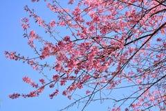 Rosa blüht Kirschblüte-Garten Lizenzfreies Stockbild
